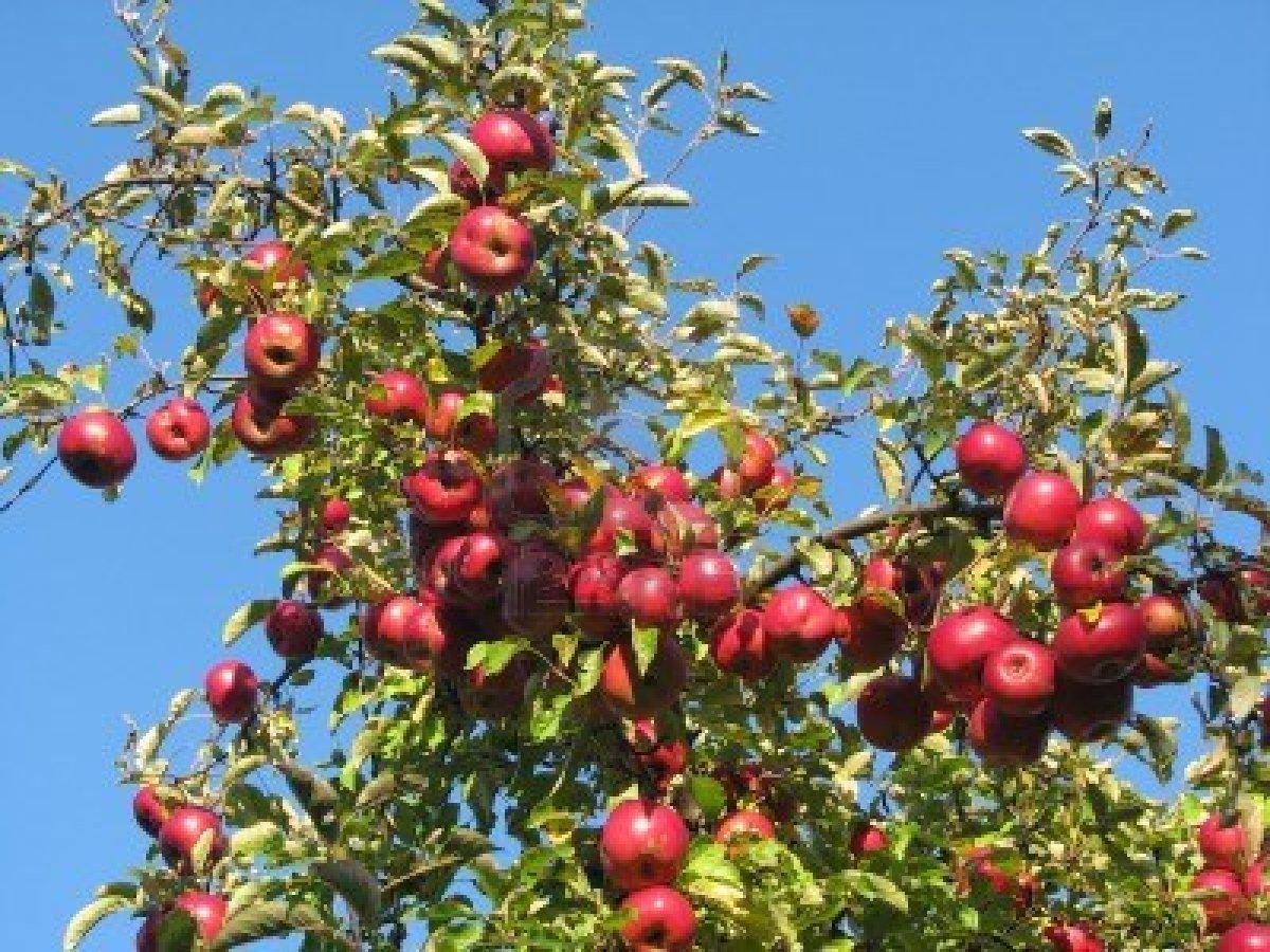 12710264-apple-takken-beladen-met-rode-rijpe-appels-tegen-een-levendige-blauwe-hemel--natuurlijk-licht