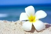 3180732-tropische-bloem-plumeria-alba-op-het-strand